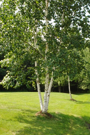 A Cluster of Birch Trees